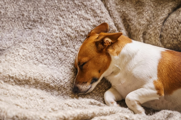 Cute jack russell dog resting or sleeping under a blanket. Premium Photo