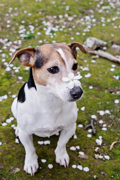 Cute jack russell sitting in grass with white petals Premium Photo