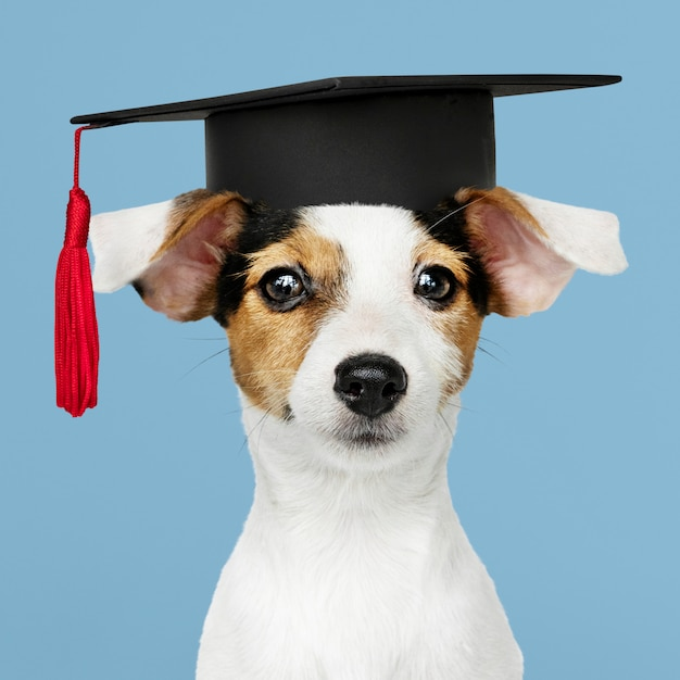 Cute jack russell terrier in a graduation cap Free Photo