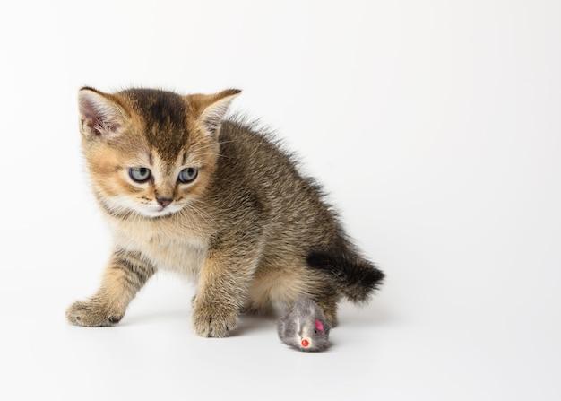 かわいい子猫スコットランドの黄金のチンチラストレート品種、白い背景で遊ぶ猫 Premium写真