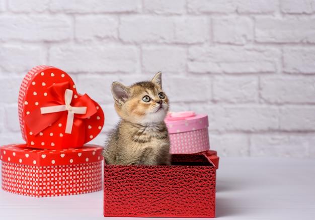 Милый котенок шотландской золотой шиншиллы прямой породы сидит на белом фоне и коробки с подарками, праздничный фон Premium Фотографии