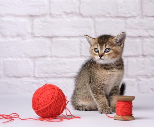 かわいい子猫スコットランドの黄金のチンチラストレート品種は白い背景の上に座って、羊毛糸の赤いかせで遊ぶ Premium写真