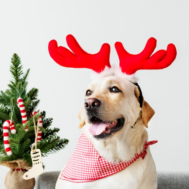 Cute labrador retriever wearing antlers Free Photo