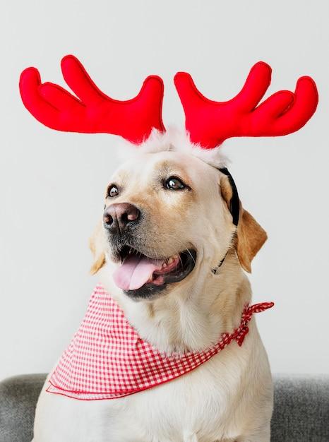 Cute labrador retriever wearing antlers Free Photo