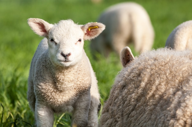 An cute lamb looking at me Premium Photo