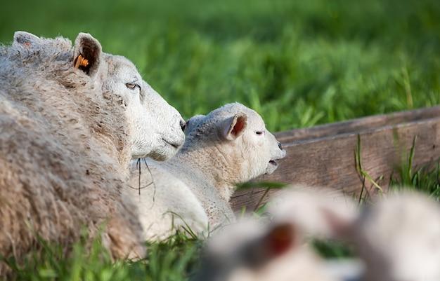 An cute lamb looking at me Premium Photo