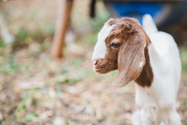 Милый маленький ребенок коза стоя в поле Premium Фотографии