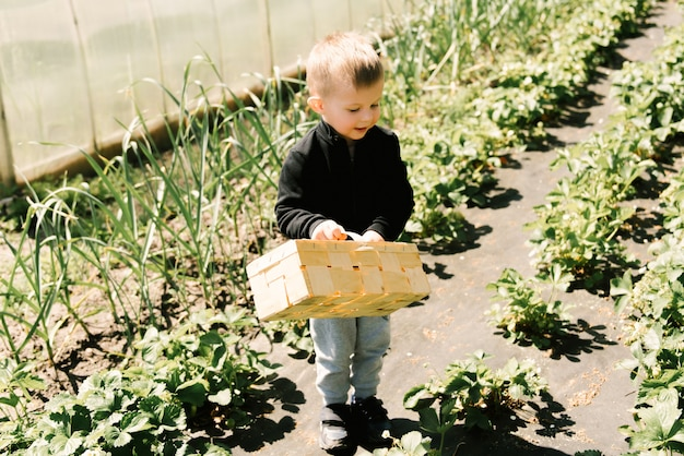 A cute little boy picks strawberries from the garden Premium Photo