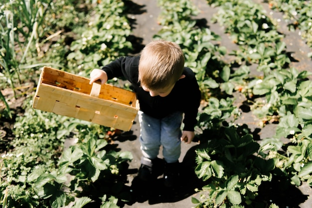 A cute little boy picks strawberries from the garden Premium Photo