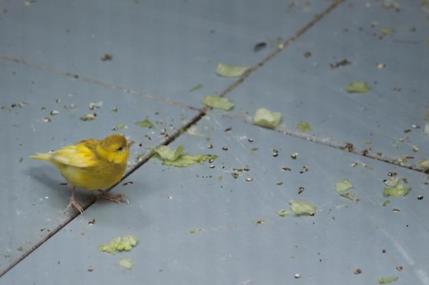 Cute little canary Premium Photo