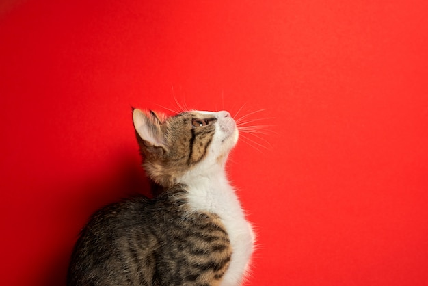 Cute little cat posing on red isolated background Premium Photo