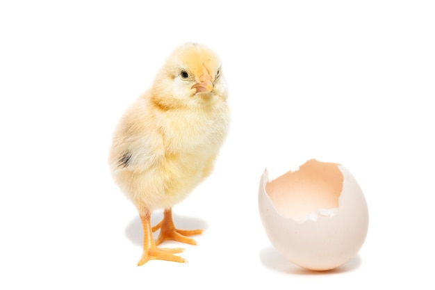 Cute little chicken coming out of a white egg isolated on white background Premium Photo