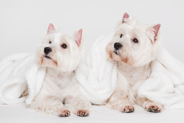 Cute little dogs with towels Free Photo