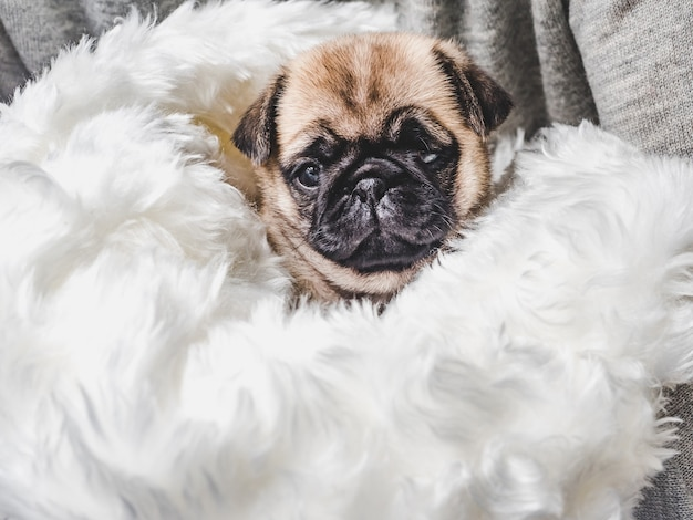 Cute little puppy sitting on feather pillow Premium Photo