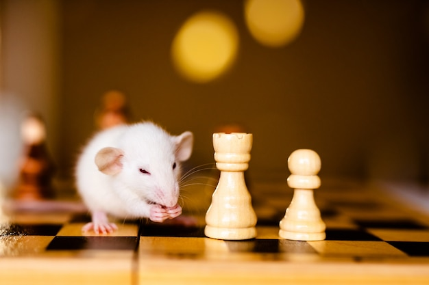 Cute little white rat with big ears siting on the chess board Premium Photo