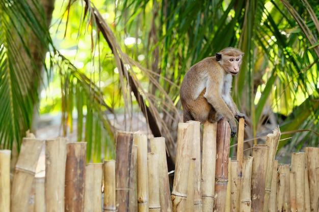 Cute macaca sinica monkey on bamboo park fence Premium Photo
