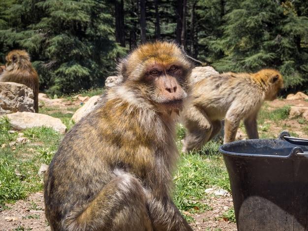 모로코의 정글에서 귀여운 Macaca Sylvanus Berber 원숭이 무료 사진