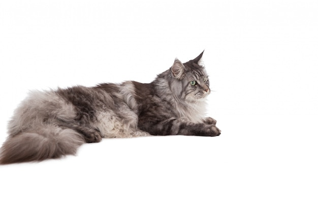 Cute maine coon relaxing and lying  Premium Photo