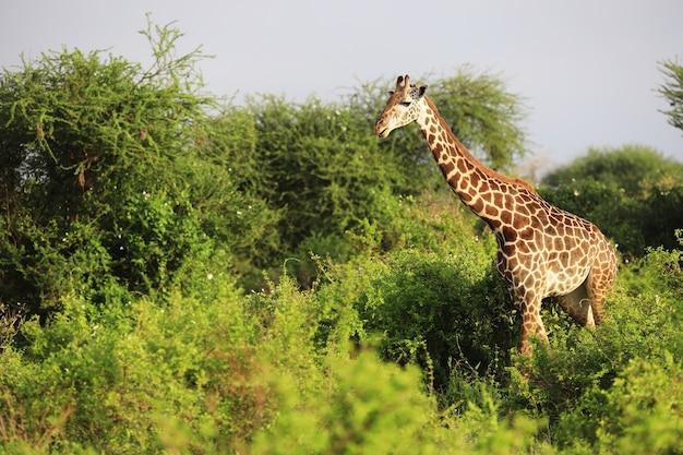 アフリカ、ケニア、ツァボイースト国立公園のかわいいマサイキリン 無料写真