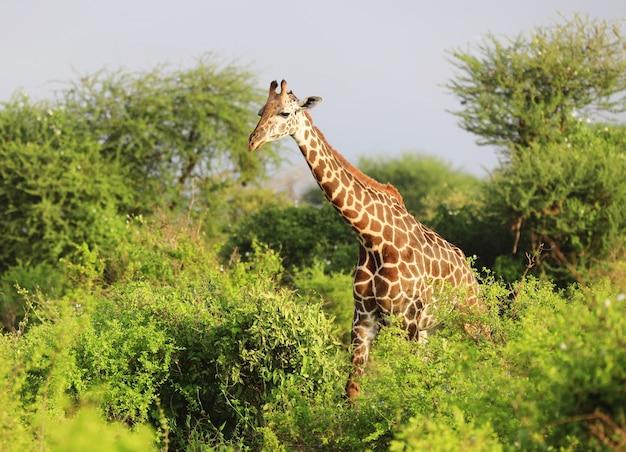 Carino massai giraffe nel parco nazionale orientale di tsavo, kenya, africa Foto Gratuite