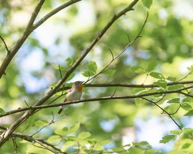 Il pigliamosche sveglio del vecchio mondo si è appollaiato su un ramo di albero Foto Gratuite