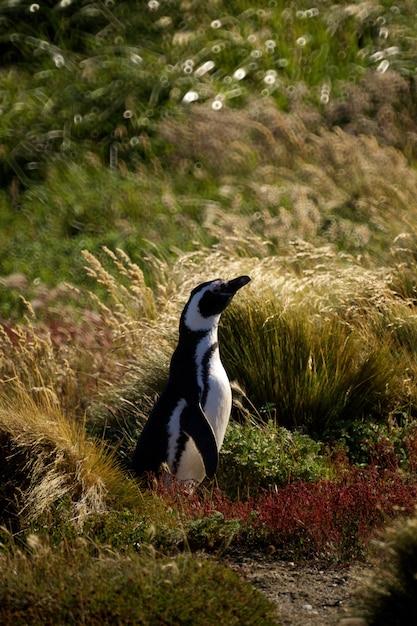チリのプンタアレナスにいるかわいいペンギン。パタゴニア 無料写真