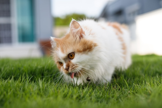 The cute persian cat is eating herbal grass on a green grass field, for pet natural medical and organic concept, selective focus shallow depth of field Premium Photo