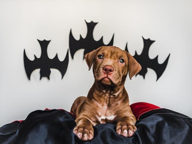 Cute pit bull puppy, lying on a black rug, halloween decoration Premium Photo