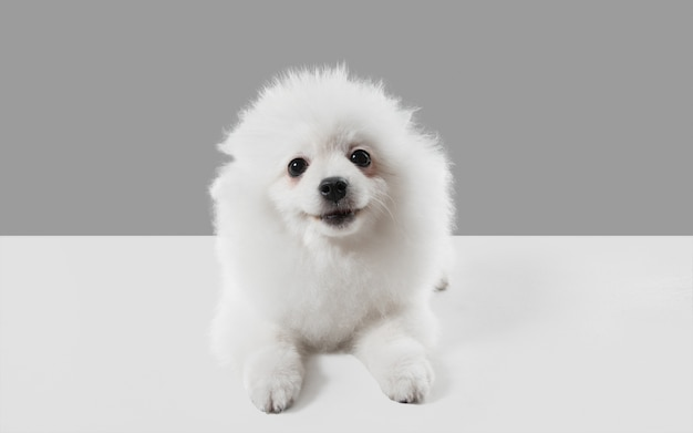 Милая игривая белая собачка или домашнее животное играет в серой студии Бесплатные Фотографии
