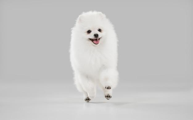 Cagnolino bianco giocoso carino o animale domestico che gioca su studio grigio Foto Gratuite