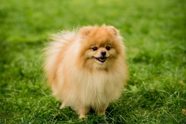 Cute pomeranian dog at the park Premium Photo