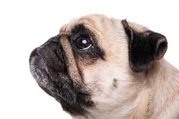 Милая собака мопса, изолированные на белой стене Бесплатные Фотографии