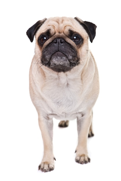 Cute pug dog isolated on a white wall Free Photo