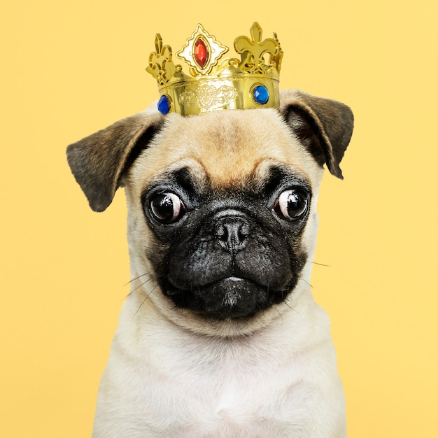 Cute pug puppy in a gold crown Free Photo