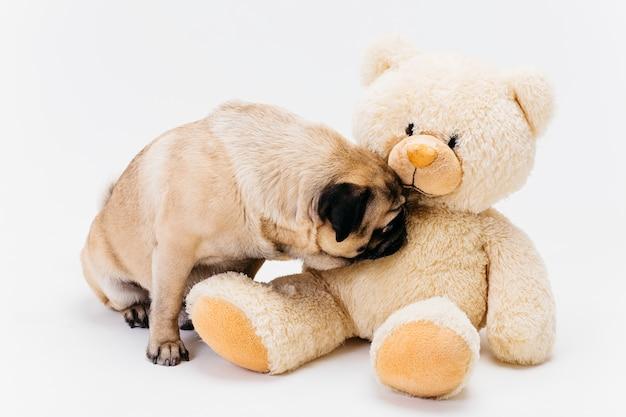Cute pug sniffing big fawn teddy bear Free Photo