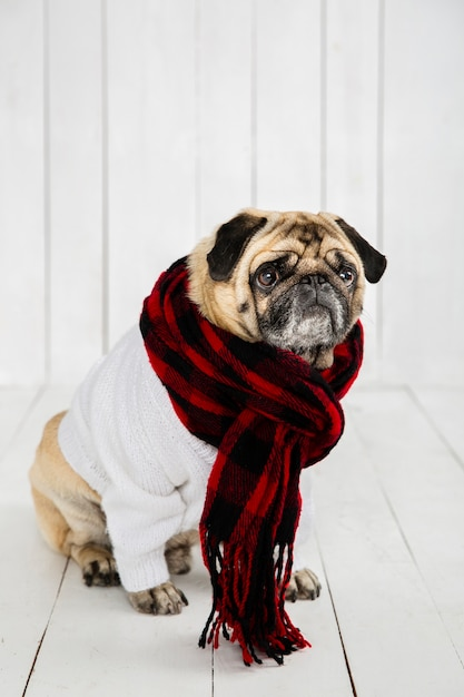 Cute pug wearing white sweater  and scarf Free Photo