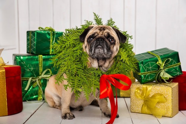 Cute pug wearing wreath decoration around the neck near gifts Free Photo
