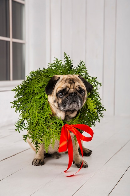 Cute pug wearing wreath decoration around the neck Free Photo