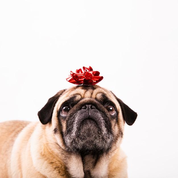 Cute pug with bow on head Free Photo