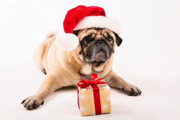 Cute pug with santa hat and gift laying Free Photo