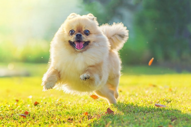 Cute puppies pomeranian mixed breed pekingese dog run on the grass with happiness Premium Photo