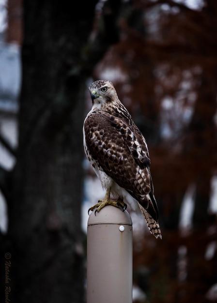棒の上に立っているかわいい赤ショルダーホーク 無料写真