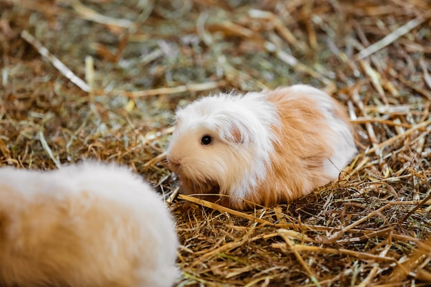 Cute red and white guinea pig close-up Premium Photo