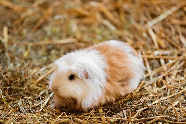 Cute red and white guinea pig close-up Premium Photo
