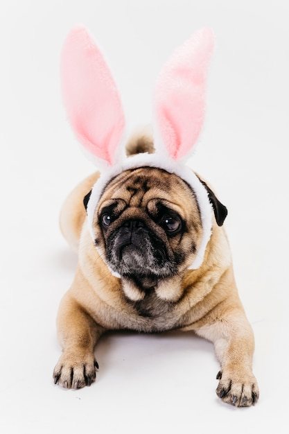 Cute sad fawn pug in bunny ears Free Photo