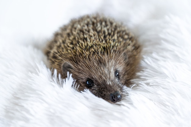 Cute sad wild hedgehog lying on a soft blanket on a white surface. the prickly animal is bored in the house and wants to be free in the forest. protection and domestication of forest animals. Premium Photo