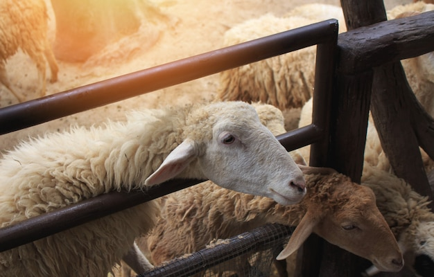 Cute sheep in farm. Premium Photo