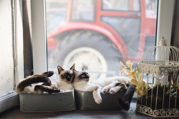 Cute siamese cats lying in boxes near the window Free Photo