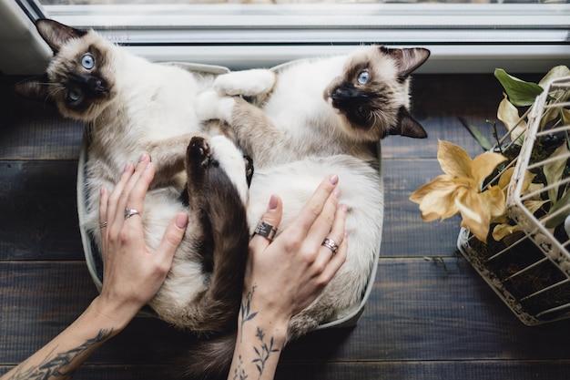 窓の近くのボックスで横になっているかわいいシャム猫 無料写真