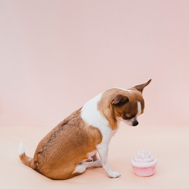 Cute sitting chihuahua with pink cupcake Free Photo